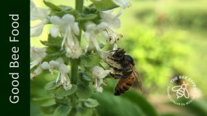 Basil, or Ocimum basilicum, is the King of herbs, honey bees are mad about it, and so are we. Great honey bee food, great for cooking.