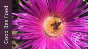 The Sour Fig, also known as Carpobrotus. spp, is an easy to grow succulent ground cover that loves the coastal regions. Great honey bee food.