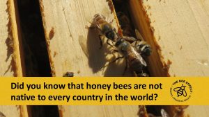 Generally honey bees are considered a native species in Europe, the Middle East and Africa, and introduced elsewhere intentionally by humans.