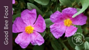 Rock Rose for honey bees_The Bee Effect