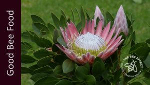 King Protea_The Bee Effect