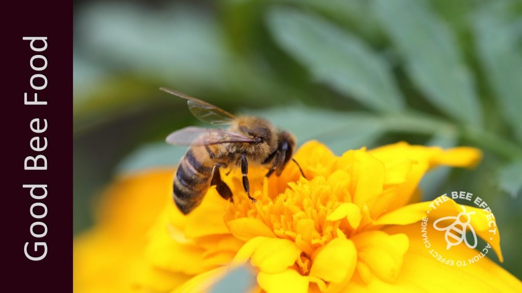 Also known as Tagetes erecta, Marigolds are widely cultivated, hardy and long-flowering, with single cultivars better for honey bees.
