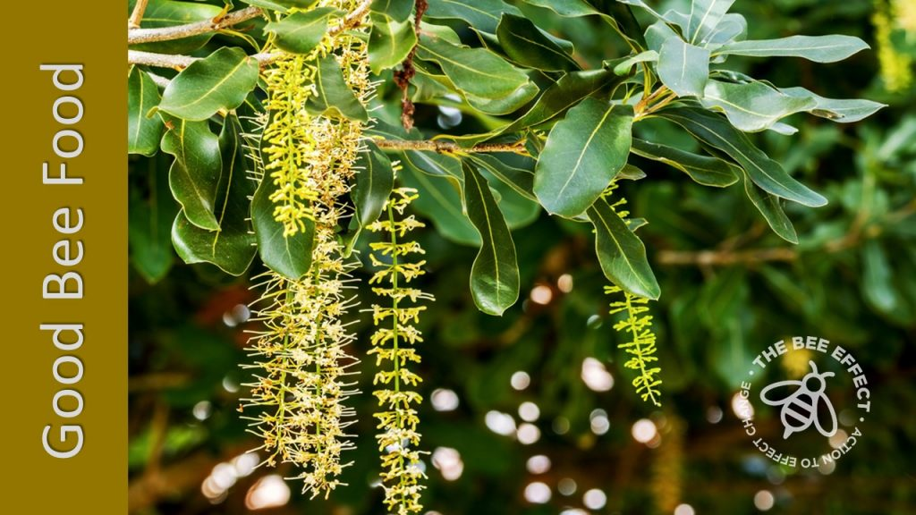 Macadamias, Macadamia spp. have an average pollen value and higher nectar yield for honey bees in areas with a relative high humidity.