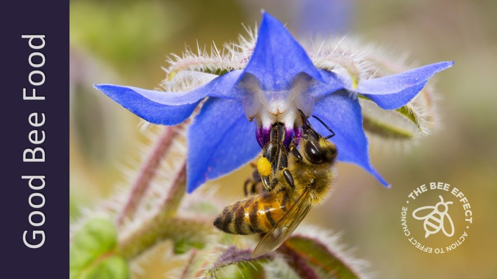 Borage, Borago officinalis, also known as the starflower, this is a gorgeous favourite of our friends - flowering in Winter, when bees need our help most.