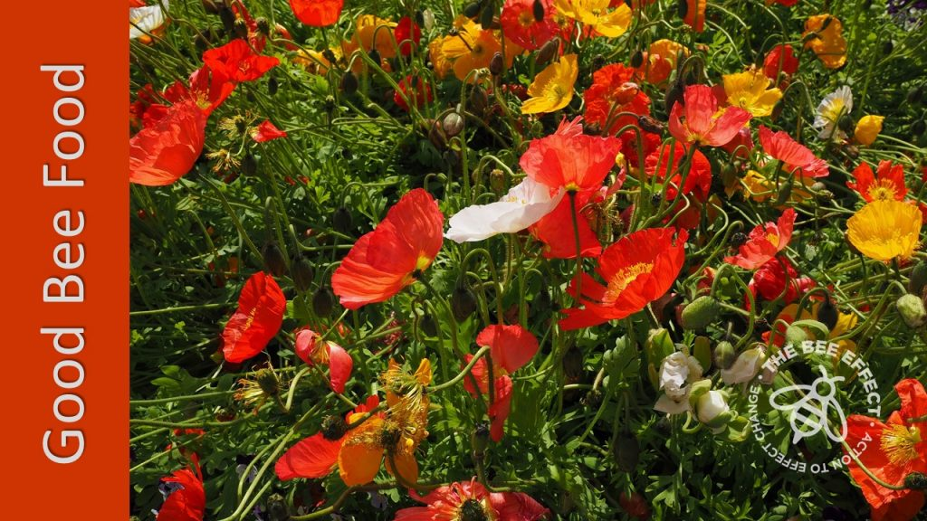 Iceland Poppies, Papaver nudicaule, the most popular of poppies, will transform your winter landscape into a breathtakingly attractive honey bee heaven.