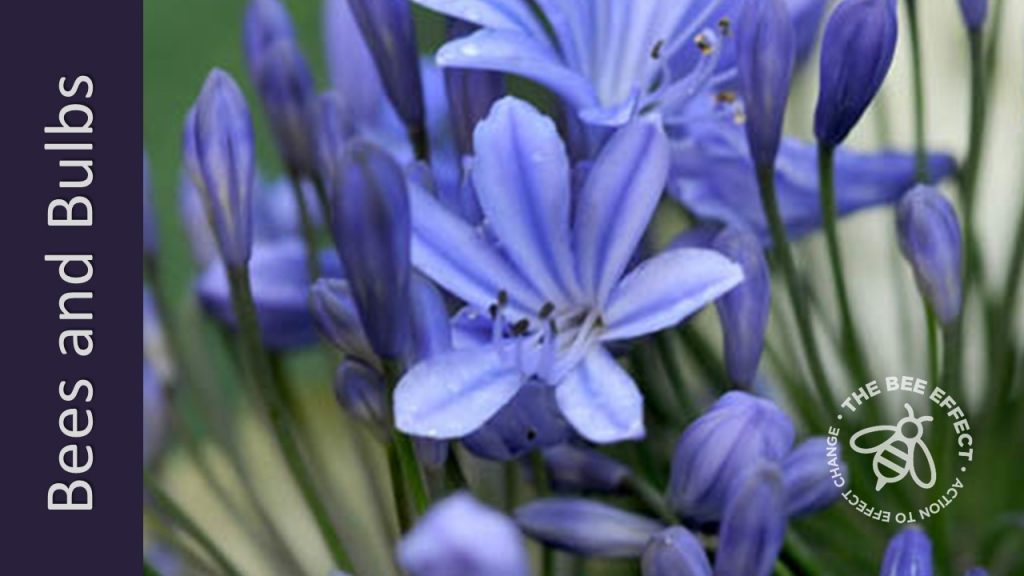 Agapanthus or Agapanthus Spp. are great nectar and a splash of pollen in colour from December to April in your bee-garden.