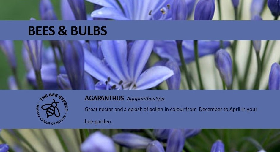 Agapanthus_The Bee Effect