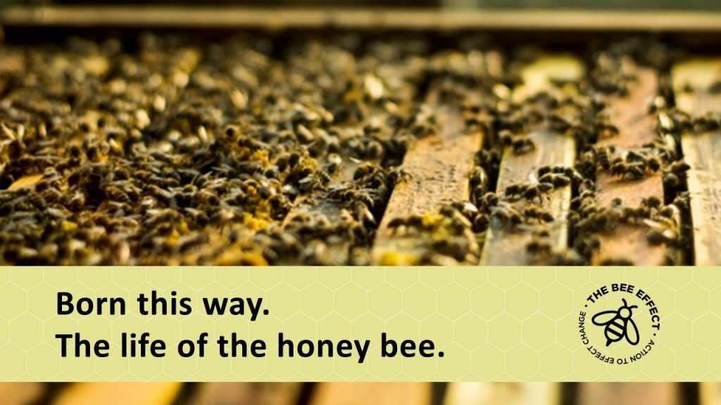 09a7e5bfc332 Honey Bee Superorganism - The Bee Effect