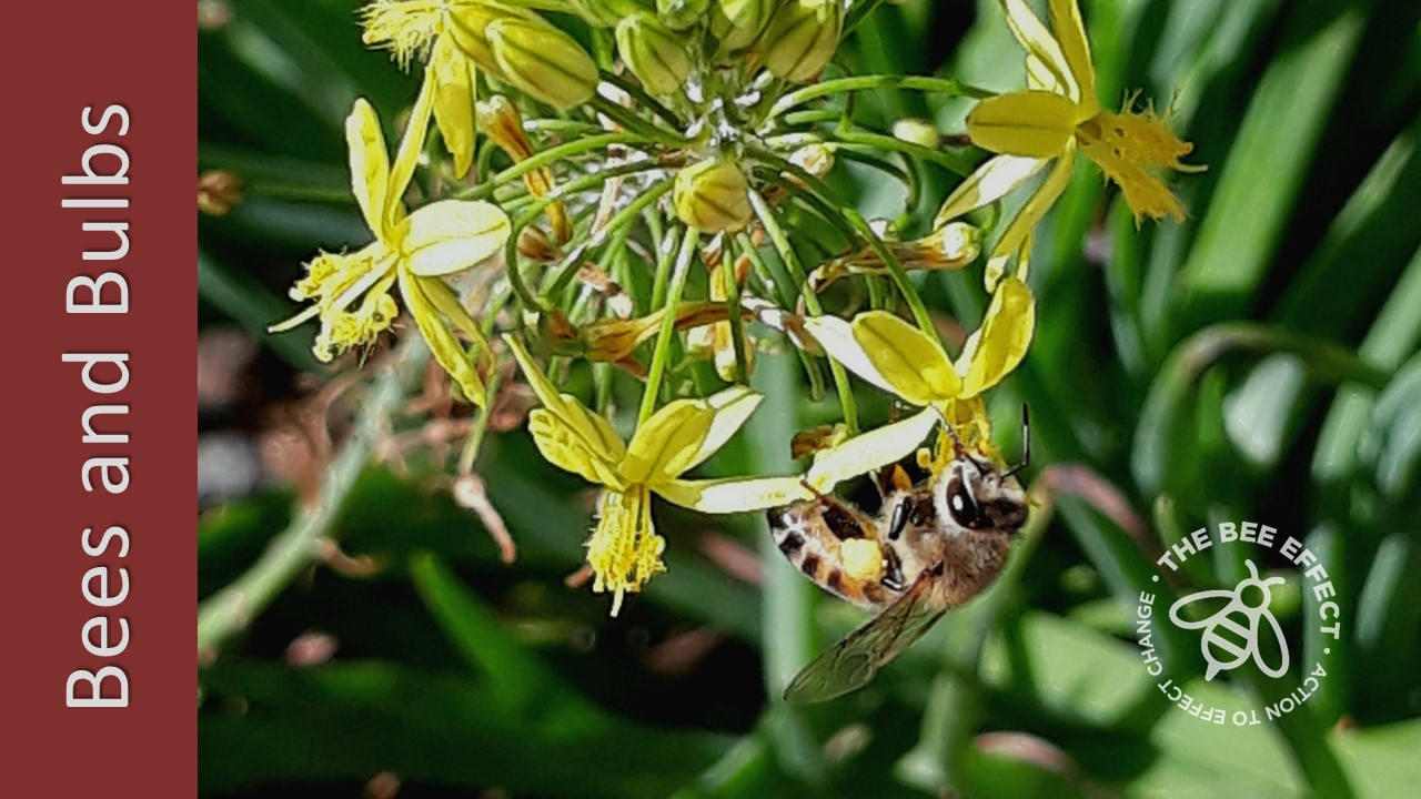 Also known as Kopieva, Geelkwassie or Bulbine frutescens, it is a common garden plant widespread in South Africa, loved by honey bees for its pollen.