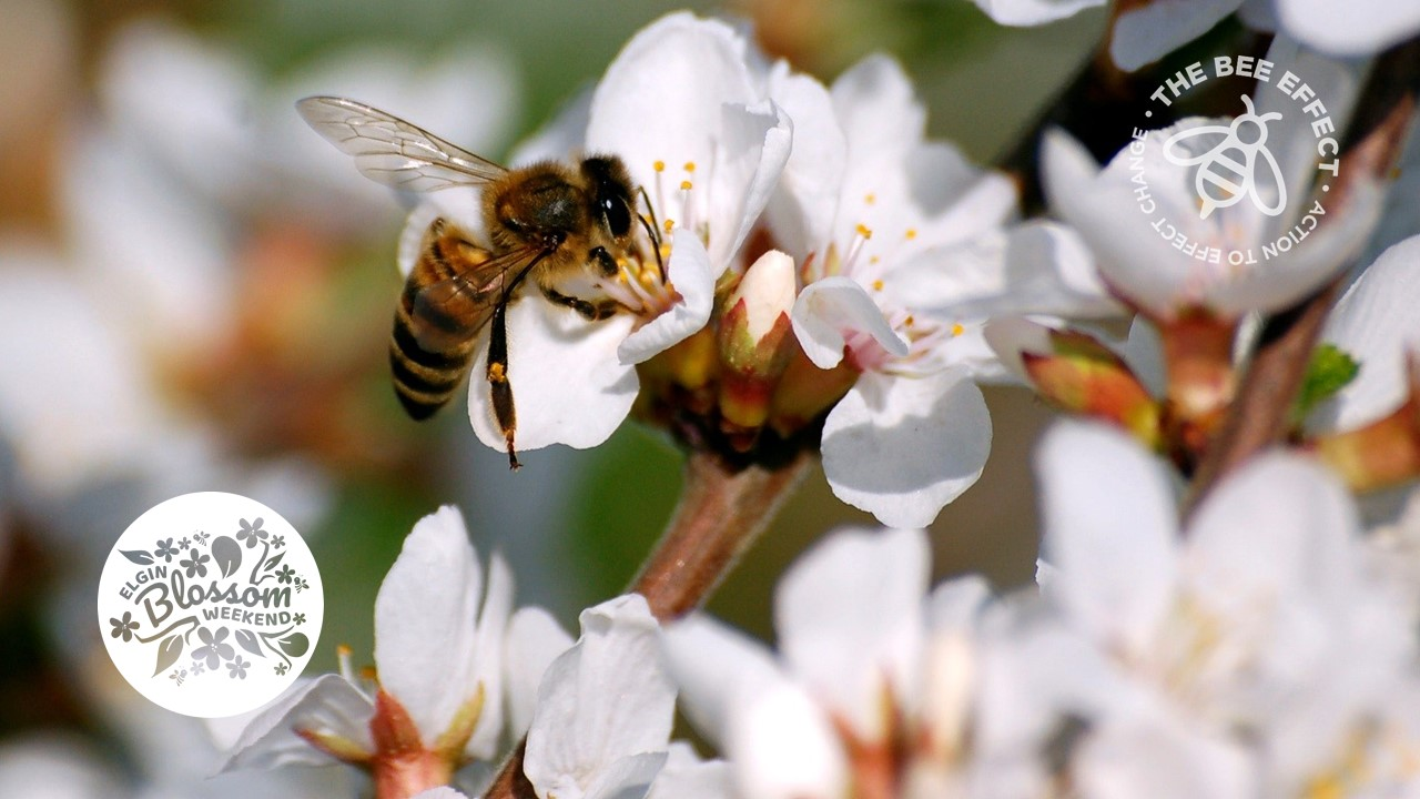 Its Apple Blossom & Bees time in Elgin again this October with the weekend of the 12-13 set to buzz as the valley celebrates our honey bees and the gorgeous blossoms that abound.