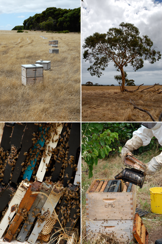 Fires raging across Australia and the impact on the pure strain Ligurian honey bee on Kangaroo Island, which was dedicated as a honey bee sanctuary in 1885.